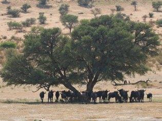 Sheltering Wildebeest