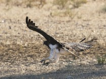 Martial Eagle swooping