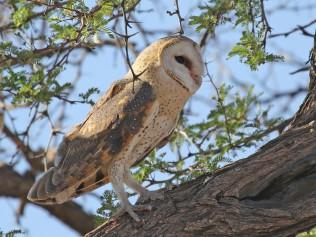 Western Barn Owl at Grootkolk