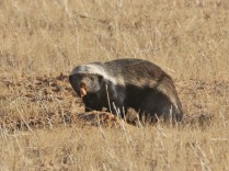 Honey Badger and prey