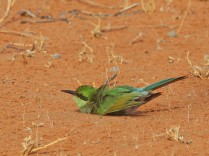 Swallow-tailed Bee-Eater having a sand bath