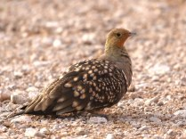 Namaqua Sandgrouse