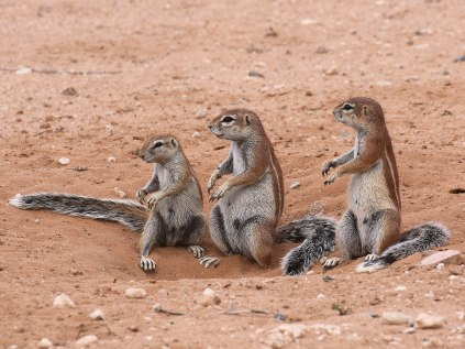 Ground Squirrels kept us entertained at Mata Mata