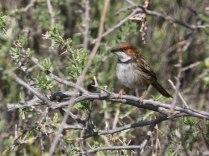 Rufous-cheeked Warbler