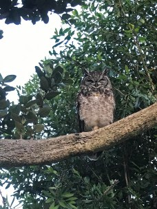 Spotted Eagle Owl in Hermanus Heights