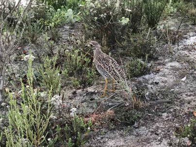 Spotted Thick-knee on the golf course