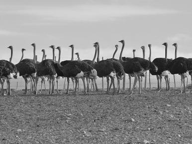 Ostriches2